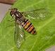 Les Diptères (Mouches, moustiques, syrphes ...)