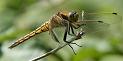 Les Odonates (libellules, demoiselles ...)